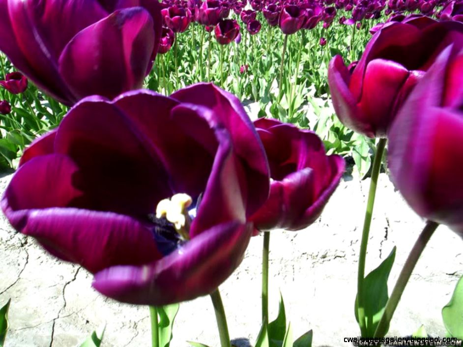 Tulips   Flower wallpapers   Crazy Frankenstein