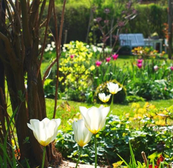 Forårshaven med massevis af sunde tulipaner