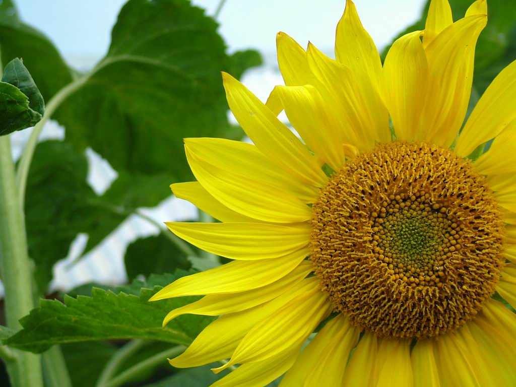 INDOZ NATURE FRESH PUNJAB SET TO BOOST CULTIVATION OF SUNFLOWER