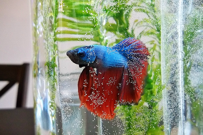 Halfmoon Betta Male