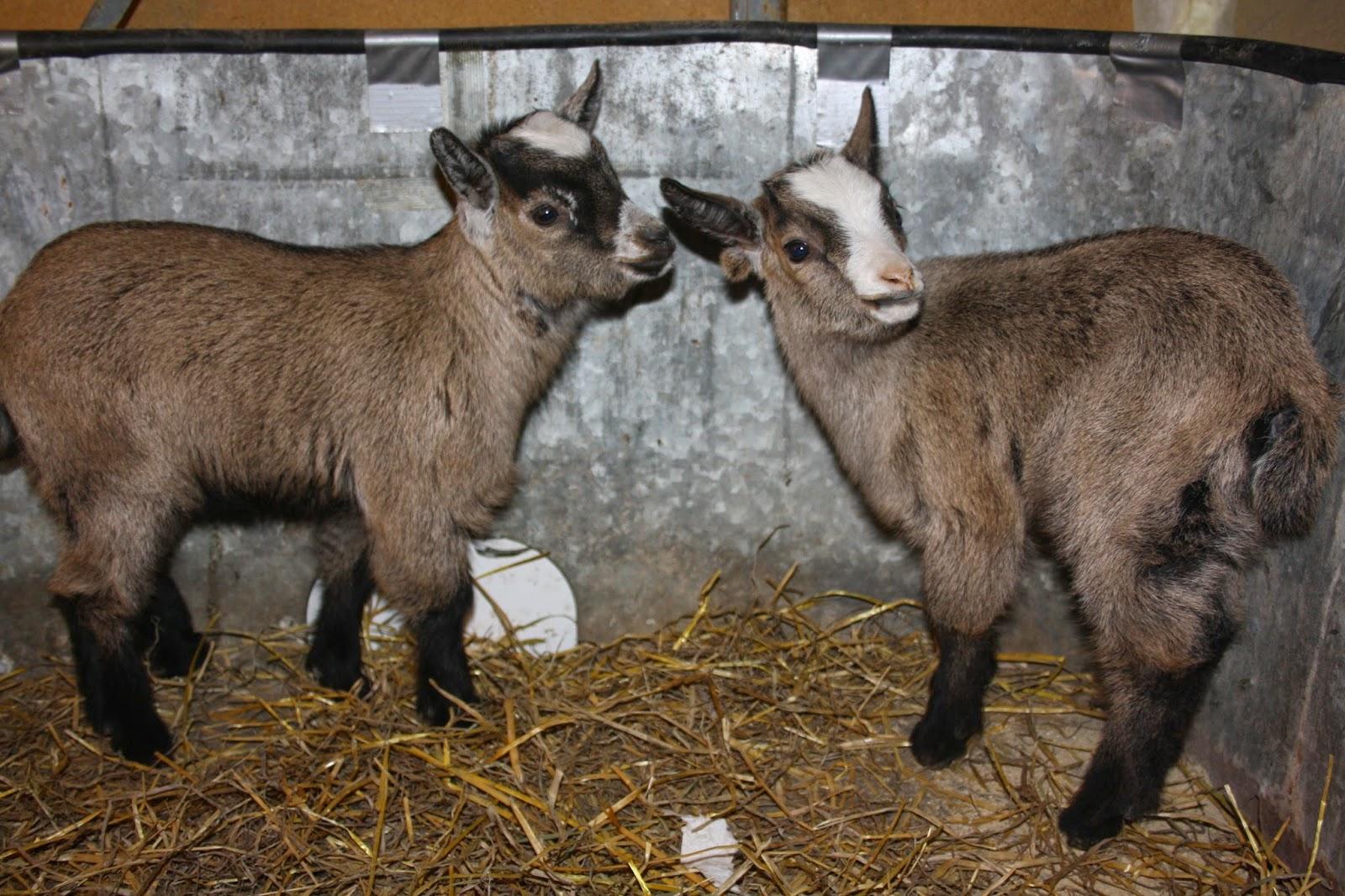Pueden ocurrir bocios en cabras adultas