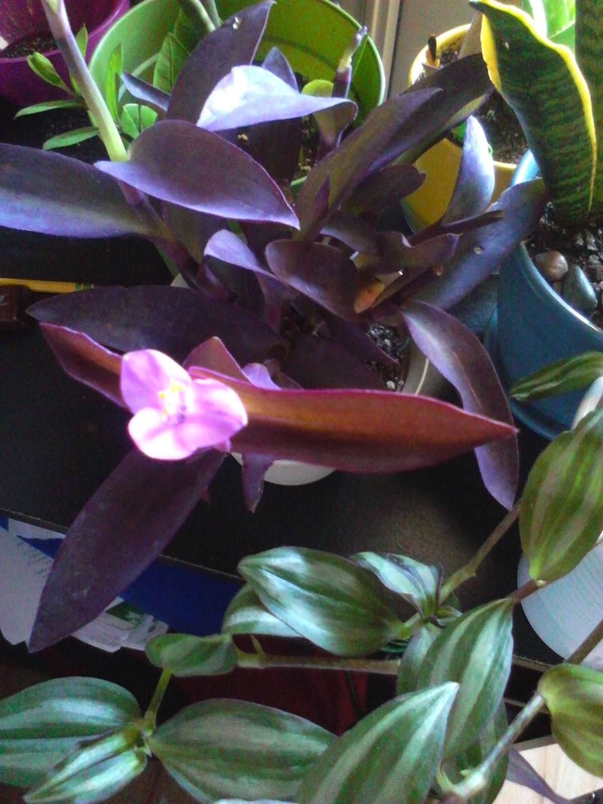 Dynamic gardening flowering plants purple heart - Purple wandering jew plant ...
