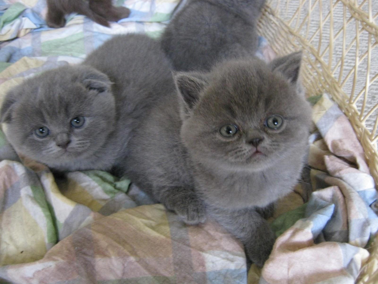 Scottish Folds of Calgary Kittens for sale
