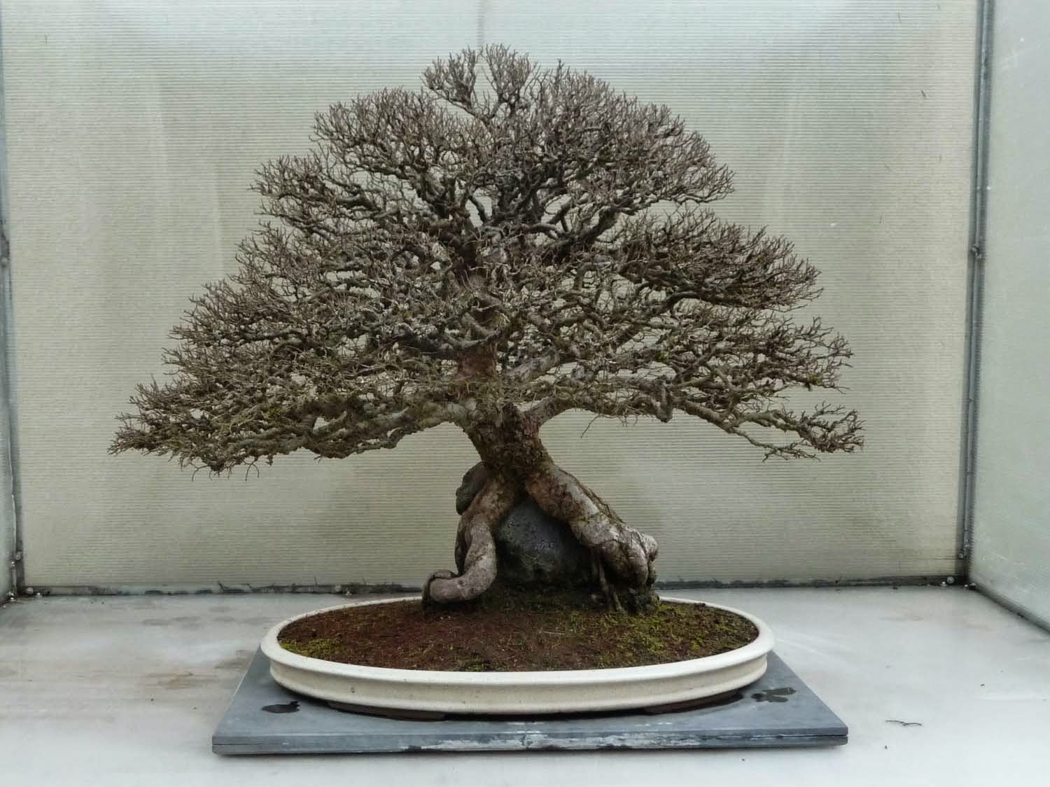 Bonsai Amp Pottery Post 191 Pacific Bonsai Collection