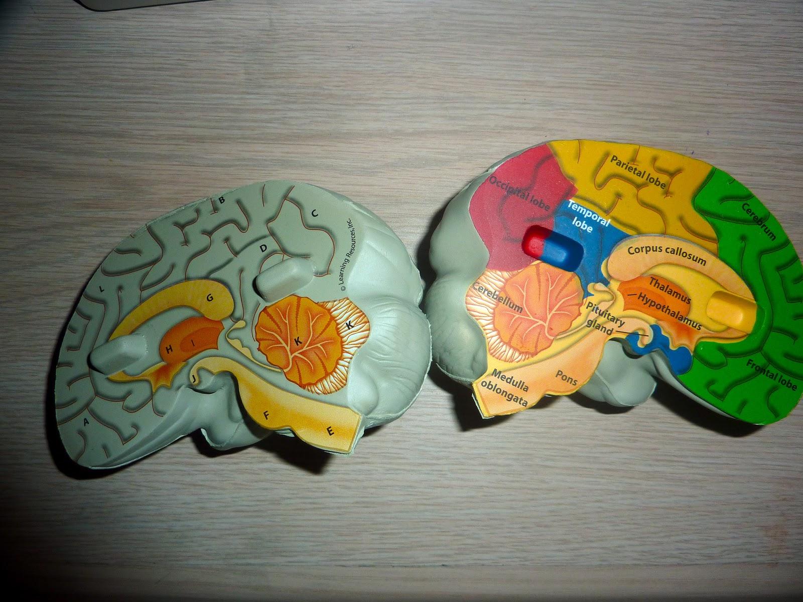 Human Anatomy Nervous System