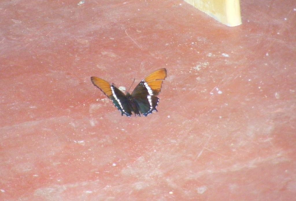 Siproetas epaphus
