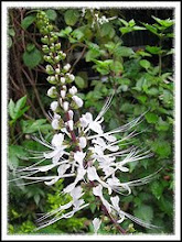 Orthosiphon aristatus-Cat's Whiskers