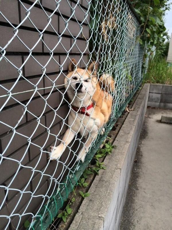 13 tai nạn các em cún Shiba gặp, nhưng rất... hớn hở ảnh 2