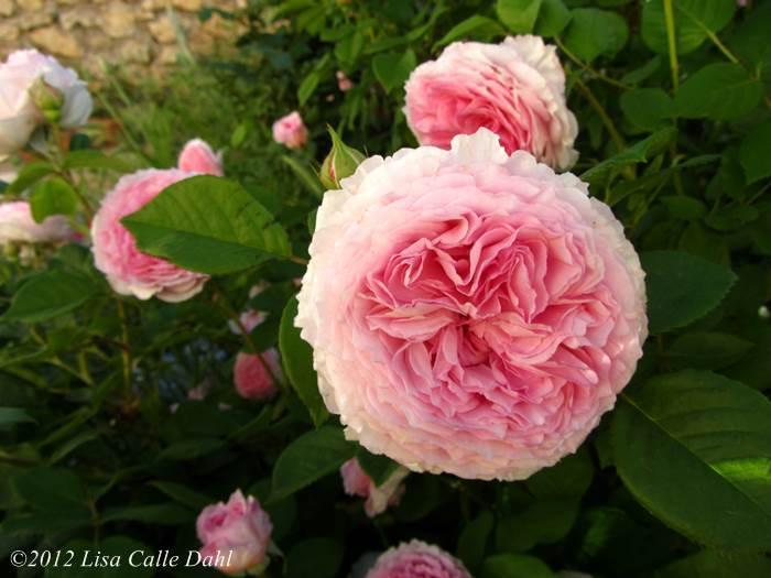 Descubriendo hojas Las increíbles rosas de David Austin