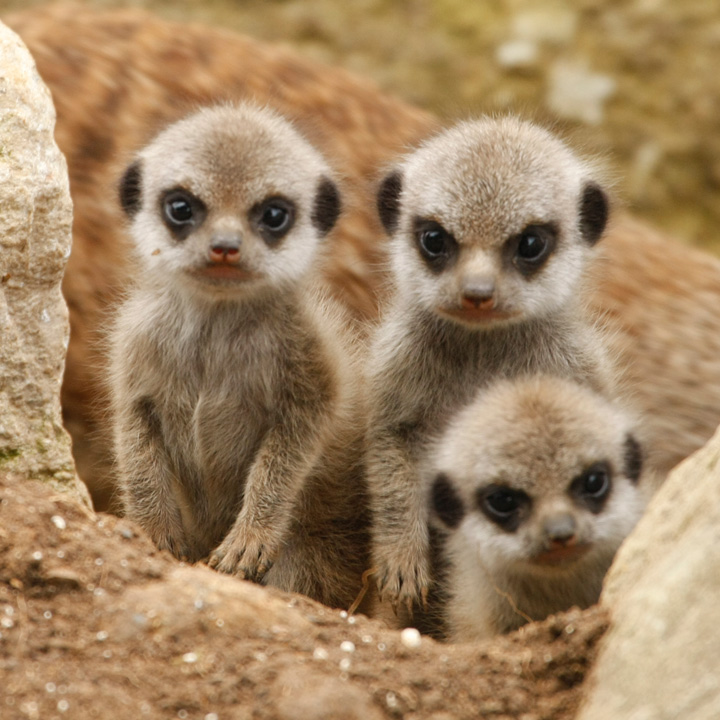 Baby Meerkats on Life Cycle Flip Book