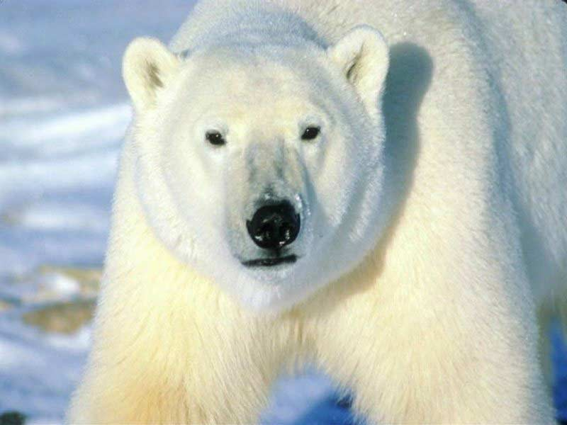 polar bear big