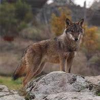 Zoologia: el llop quasi extint
