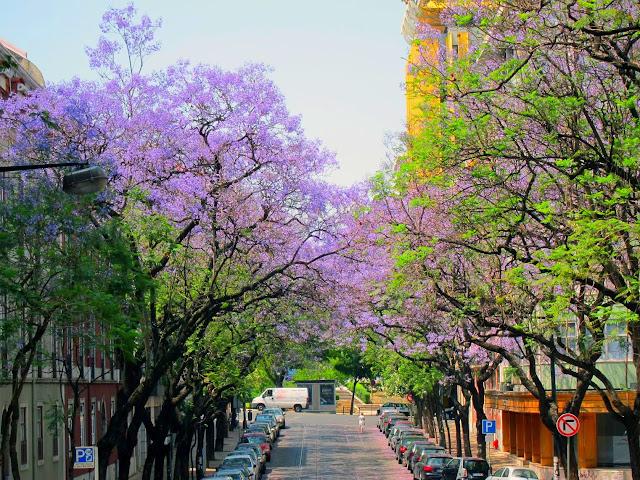 деревья в сиреневых цветах