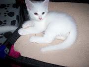 My Turkish Angora kitten