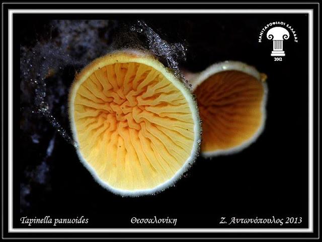 Tapinella panuoides (Batsch) E.-J. Gilbert