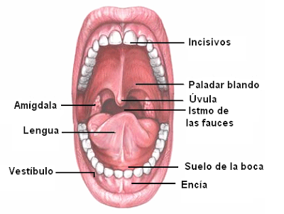 ANATOMIA DEL SISTEMA DIGESTIVO I (Cavidad bucal a estómago) | .