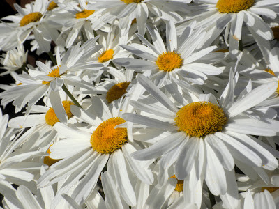 photos of daisies by Nancy Zavada