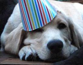 yellow Lab in party hat