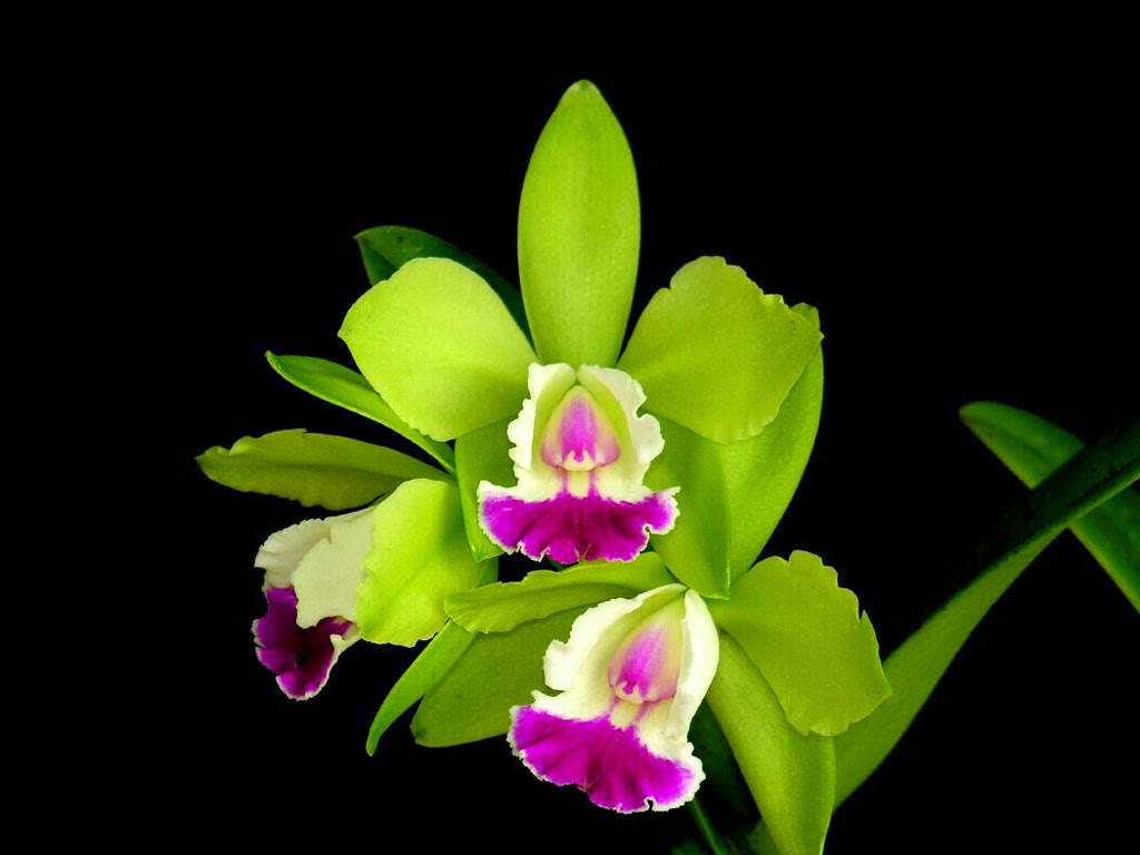 All new wallpaper Attractive Green orchid Flowers wallpaper