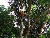 Ajaib,  Pohon jengkol berbuah pisang