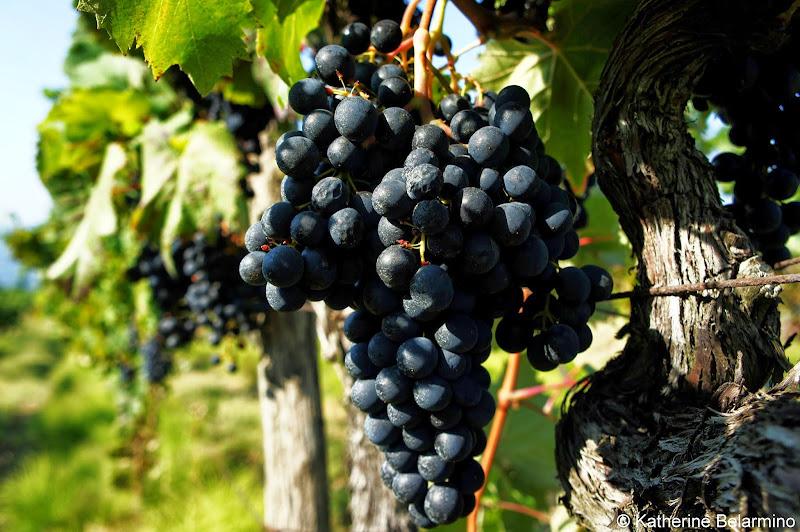 Motovun Grape Vines Istria Croatia Travel
