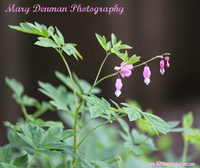 Pink Bleeding Hearts Flower Photo