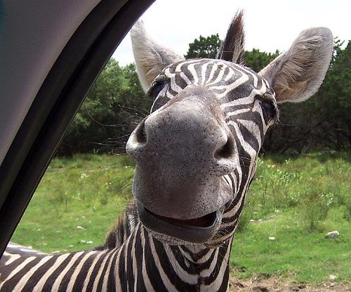 Funny Zebras Pictures Funny Zebra