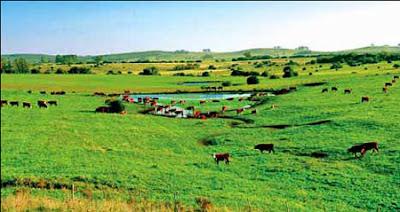 Những đàn bò Uruguay được chăn thả tự nhiên cho thịt thơm ngon và an toàn