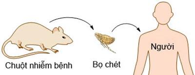 Hình 2: Bọ chét (chứa Yersinia pestis) ký sinh trên chuột gây bệnh cho người