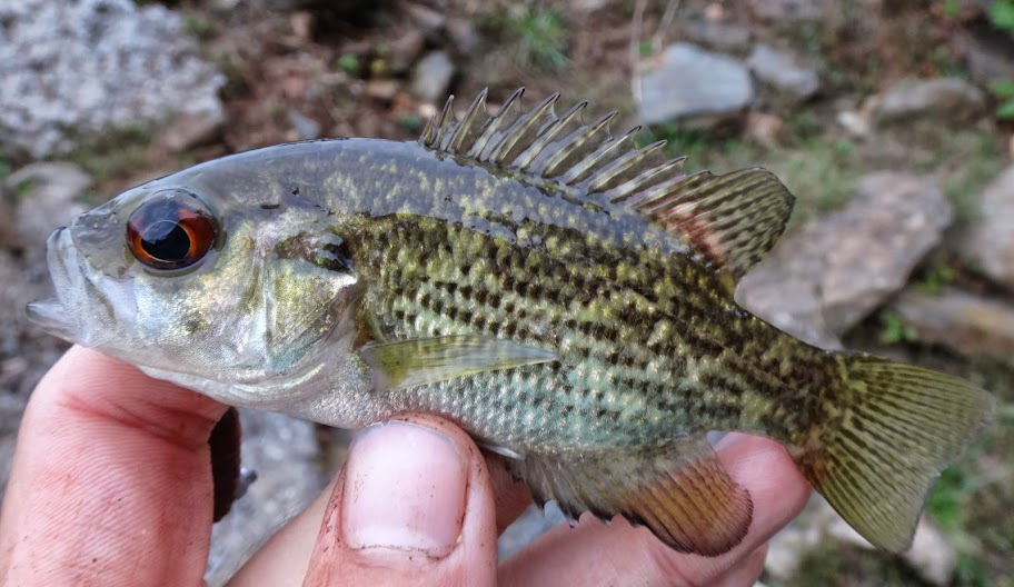Ben cantrell 39 s fish species blog october 2013 for Rock bass fish