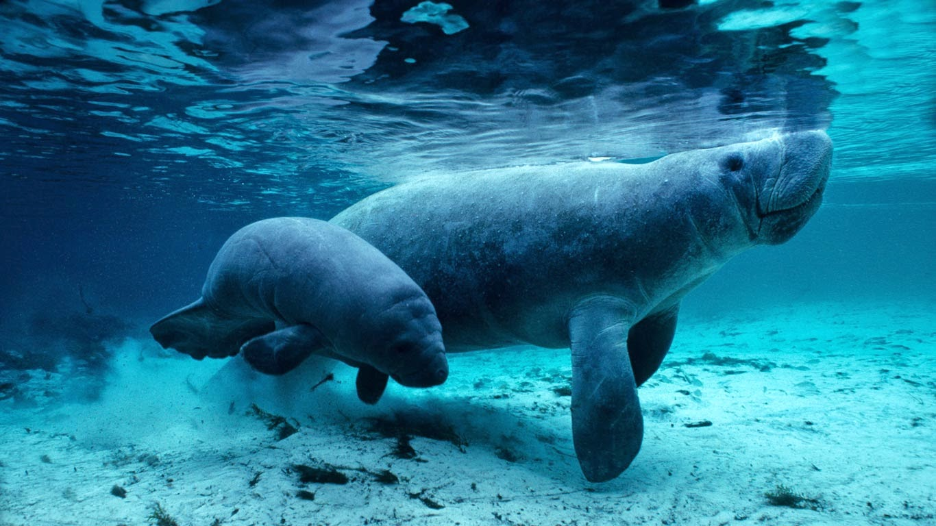 West Indian manatees in the Crystal River, Florida (© Daniel J. Cox/Corbis) 498