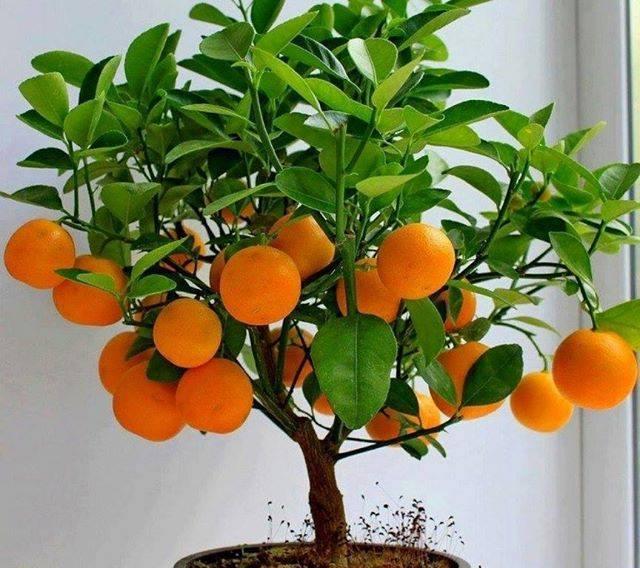 pohon bonsai buah yang menarik dan unik-4