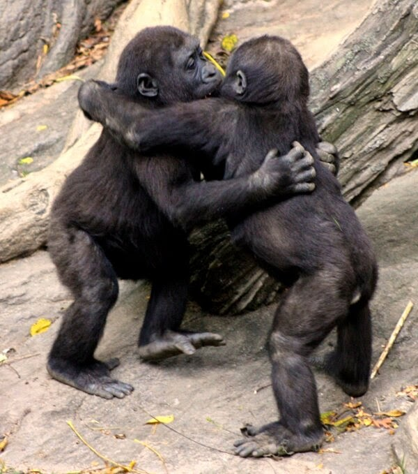 Funny animals of the week - 5 April 2014 (40 pics), baby gorillas hugging