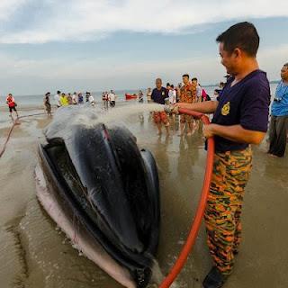 ikan paus terdampar di kuala penyu