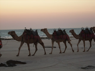 Camels on Cable Beach at Sunset, WA