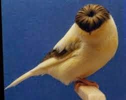 Foto Burung Kenari Frill Terbaik
