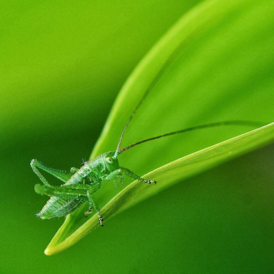 Green Grasshopper Wallpapers Zone 66 For Iphone 4