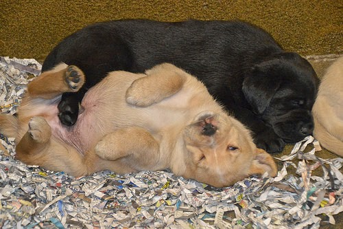 A Yellow and Black Lab puppy sleep together.