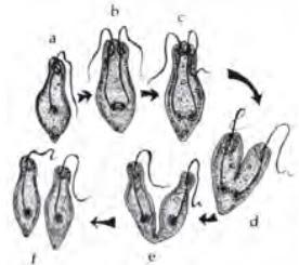 Reproduksi Euglena