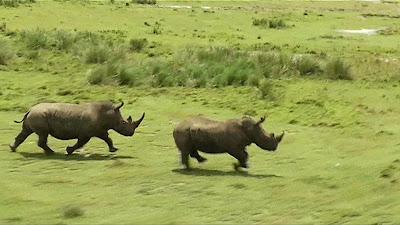 Com o novo sistema, quando o coração do rinoceronte parar um sinal é enviado a equipes de vigilância, que surgem no local do abate com um helicóptero (Foto: Reprodução/BBC)