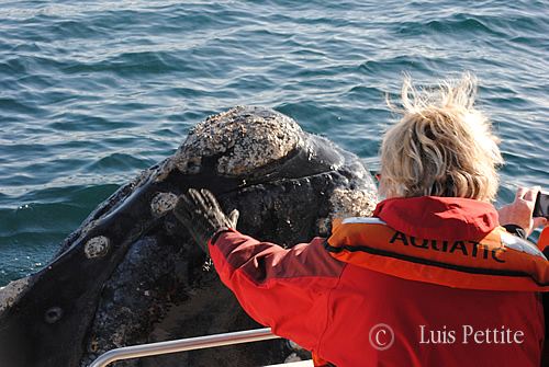 Right Whale in Peninsula Valdes - spy-hopping