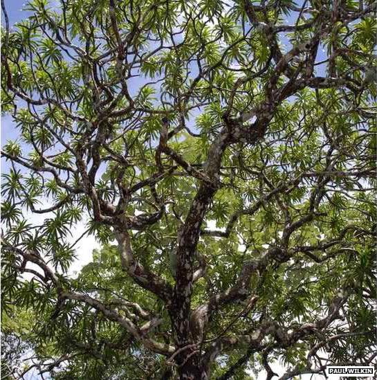 Dracaena kaweesakii (Kaweesak's dragon tree)