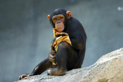 Foto Simpanse
