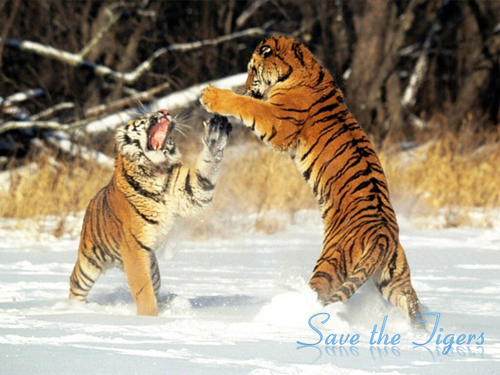 save tigers in india The project tiger was launched in india in 1972 as conservation programme for saving the indian tiger population some of the best examples of this programmes success can be seen in the national parks situated in the high himalayan region, to the mangrove swamps of the sundarbans and the thorny scrubs of rajasthan.