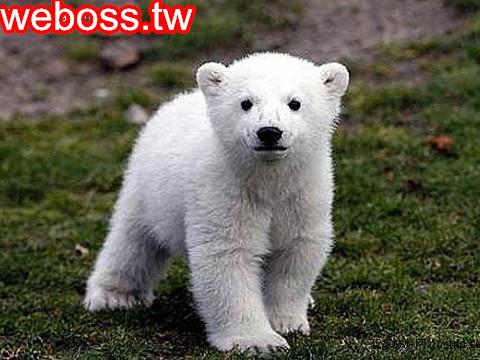 北極熊克努特 4歲3