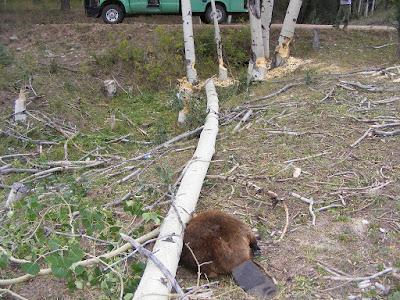 Un castor écrasé par un arbre sur son propre chantier !