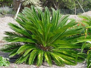Sago palm is easy care