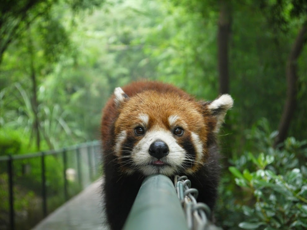 40 Adorable red panda pictures (40 pics), red panda planking in the fence