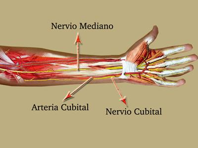 Anatomía Argerich Escuela de instrumentación quirúrgica: ANTEBRAZO