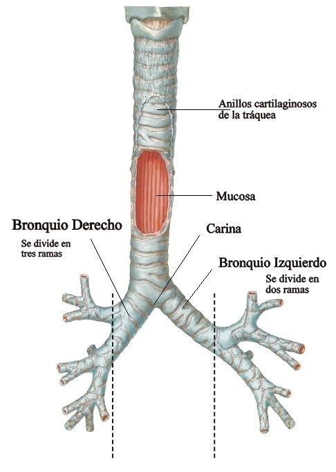Anatomía básica del aparato respiratorio | URGENCIAS Y EMERGENCIAS ...